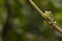 Brown Lines Tree Frog-Boana rubracyla (3)