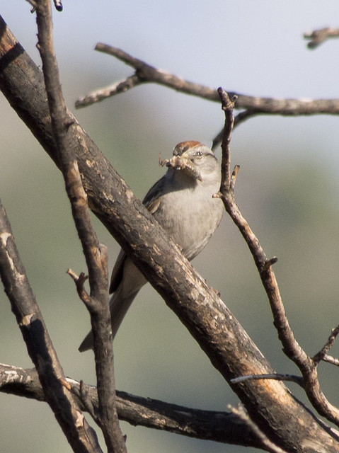 Chipping Sparrow, Coldwater Canyon, Olympus E-M5, Lumix G Vario 100-300mm F4.0-5.6 Mega OIS