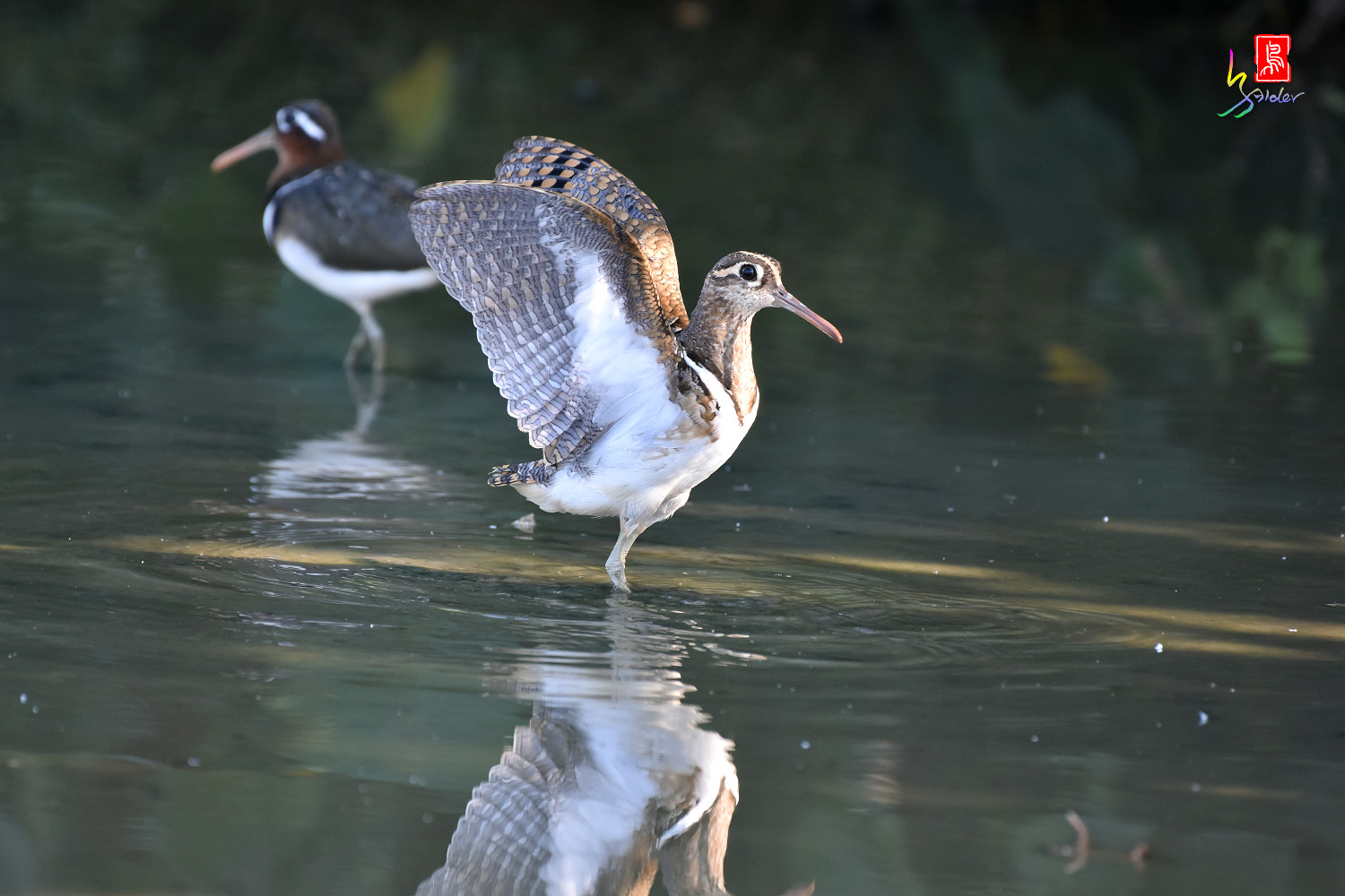 Painted_Snipe_8287