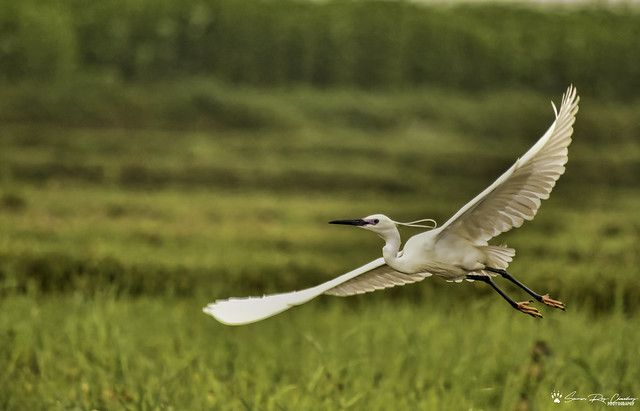 Litle Egret in fly catch