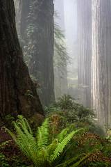 Ferns and Fog