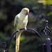 Parakeet (58) Taken through Caravan Window