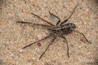 Wandering spider (Ctenidae) - DSC_2235