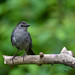 Gray Catbird, at ease by dbifulco
