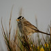 White-crowned Sparrow by RG53