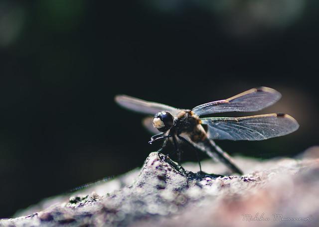 Dragonfly, Nikon D7200, AF Zoom-Nikkor 35-70mm f/2.8