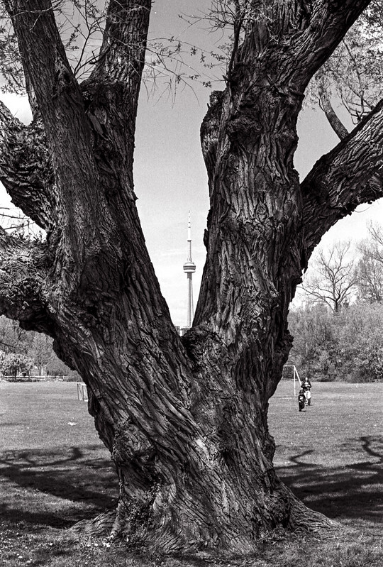 CN Tower Between the Trunks