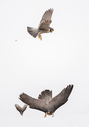 peregrine and starling 6
