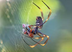 win spiders