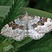 Xanthorhoe montanata - the Silver-ground Carpet Moth