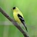 Chardonneret jaune ♂ / American Goldfinch
