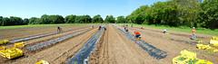 Plantations de courges par les bénévoles
