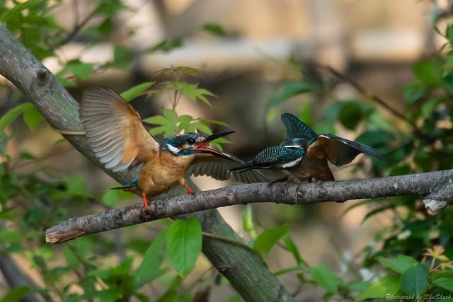 20180602-kingfisher-DSC_3955