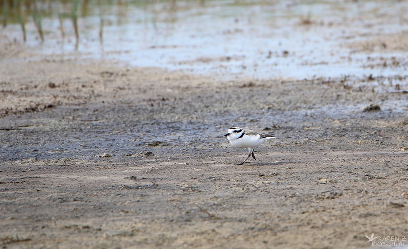 IMG_4808SnowyPlover