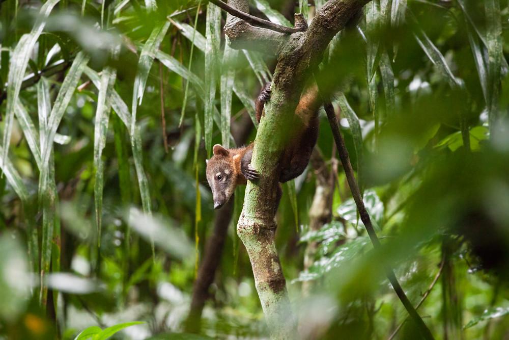 Обыкновенная носуха (Nasua nasua)
