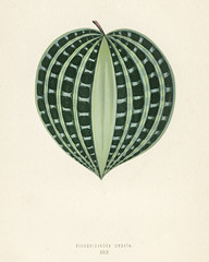 Seersucker Plant (Dichorisandra Undata) engraved by Benjamin Fawcett (1808-1893) for Shirley Hibberd's (1825-1890) New and Rare Beautiful-Leaved Plants. Digitally enhanced from our own 1929 edition of the publication.