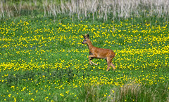 Roe Deer Buck ~ Explored