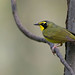 Kentucky Warbler by Cameron Darnell