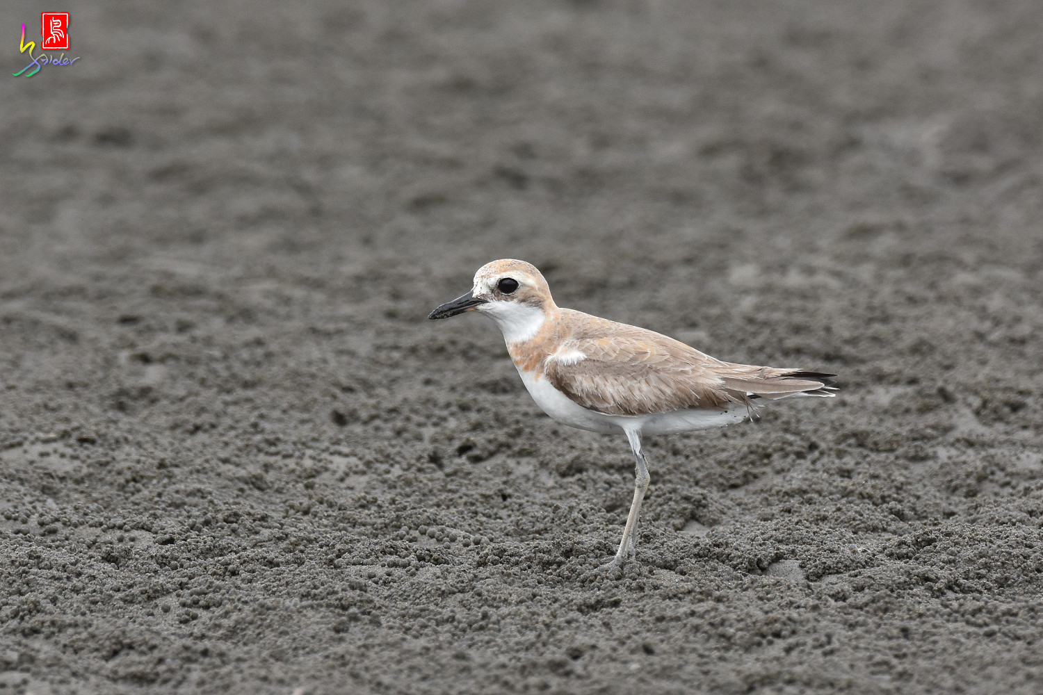 Greater_Sand_Plover_9403