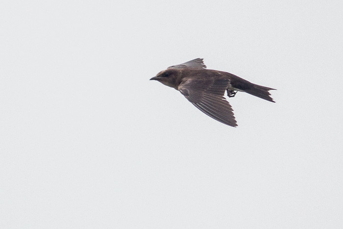 Grey-breasted Martin