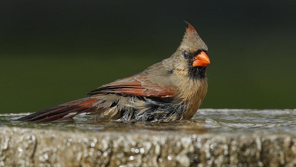 Cardinal rouge femelle au bain d'oiseaux 42608358461_4bba0a2a5f_b