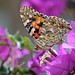 Painted Lady Butterfly (Vanessa cardui) on a flower Bougainvillea spectabilis by Abariltur