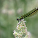 Female Banded Demoiselle!