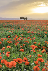Poppy sunset - Photo of Saint-Laure