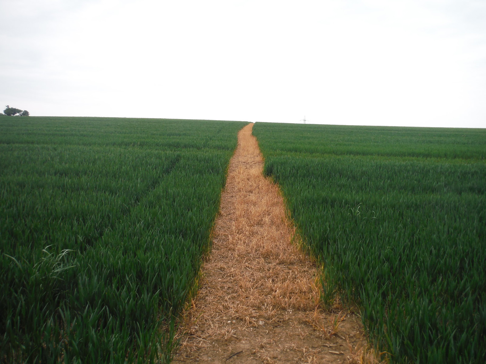Clear Path through Arable Field SWC Walk 158 - Ingatestone to Battlesbridge or Wickford