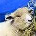 South Down Sheep