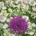 Allium and Astrantia