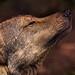 Iberian Wolf tone