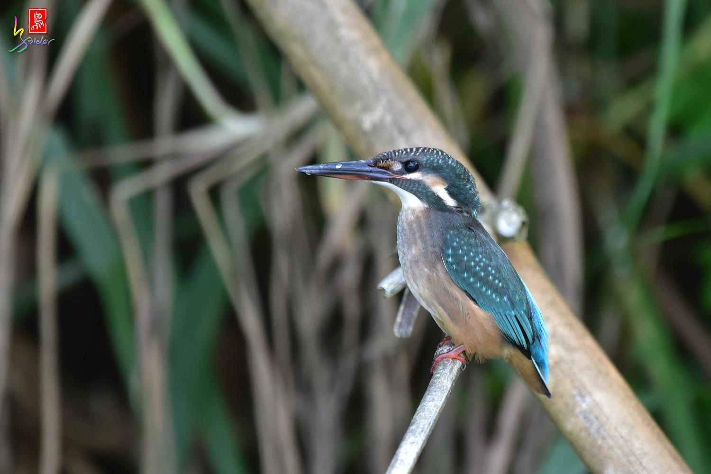 Common_Kingfisher_4193
