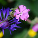 Red Campion and Blue Cornflowers