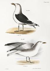 283. Great Black-backed Gull (Larus marinus) 284. Winter Gull (Larus argentatus) illustration from Zoology of New york (1842 - 1844) by James Ellsworth De Kay (1792-1851).