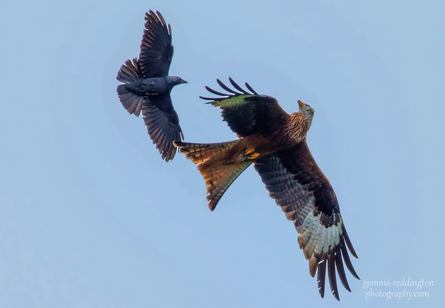 Red kite and Jackdaw action