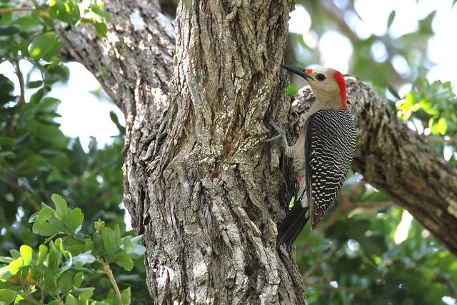 *** Golden-fronted Woodpecker female / Pic à front doré femelle