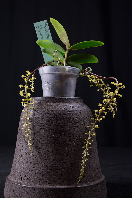 Orchideen-Neuzugang 2 - Seite 3 40745758470_eb79ab0a25_c