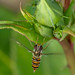 Marmalade Hoverfly - Episyrphus balteatus, hunting Aphids
