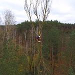 Ścinka sekcyjna korony topoli kanadyjskiej - widok z drona (Kępa)