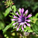 African Daisy by ngawangchodron