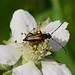 Longhorn Beetle----Stenurella melanura