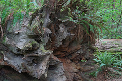 California - Jedediah Smith Redwoods State Park