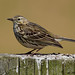 meadow pipit 60 2018