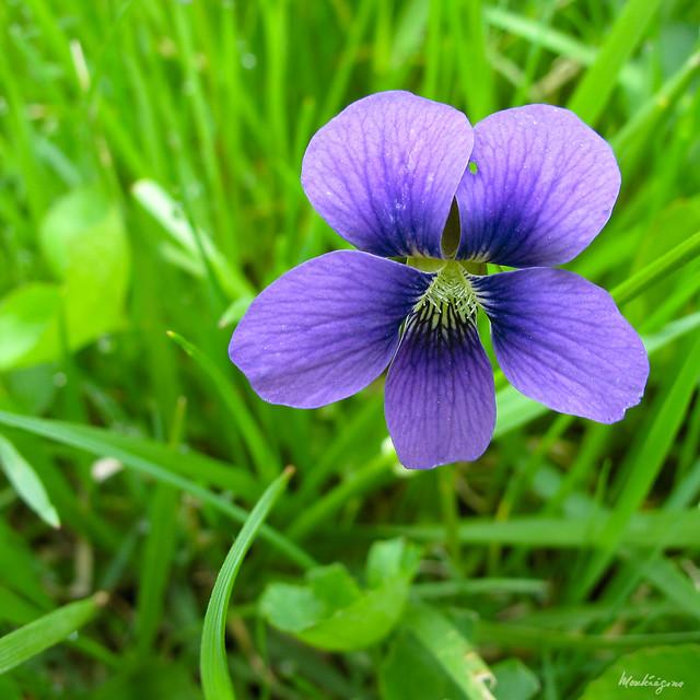 American Dog Violet -  Violette décombante
