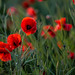 Poppy Close Up (089A6973-2)