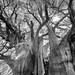 Árbol del Tule por Heidi Donat