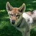 jack_wolf_hybrid_puppy-20180527-100
