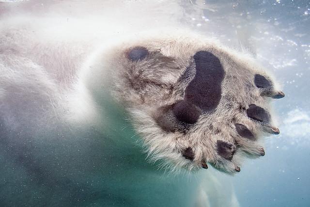 Polar Paw [In Explore 5/26/18]