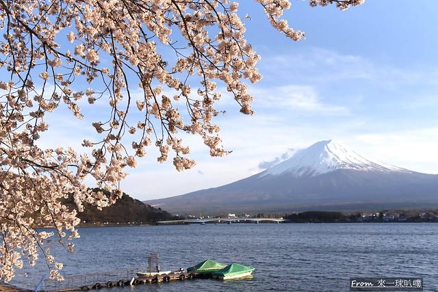 富士山河口湖櫻花季主會場65